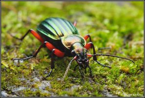 Carabus auronitens by Dark-Raptor