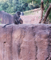 Monkey with Infant by wa11a6y