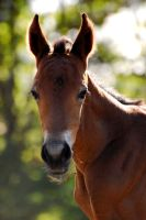 Foal portrait by ivecus