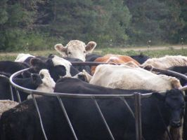 Cows in the feed by crimsonbro