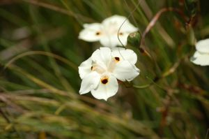Tiny White Flower by kiTTeh-LuV