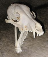 Coyote with Skull SOLD6 by lamelobo