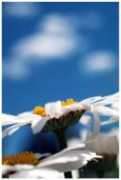 Daisies and Sky by fl8us