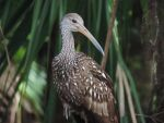 Beautiful Limpkin by illmatar