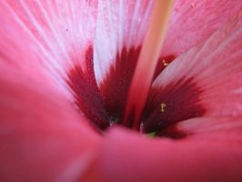 Hibiscus by pearchel