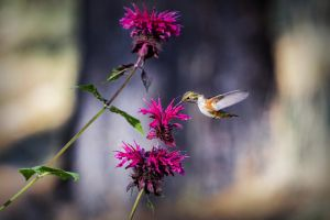 Tahoe Basin Rufous by sellsworth