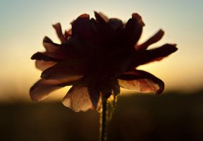 Sunset Rose by Agatha-Tyche