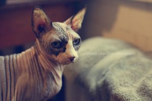 Egyptian Sphynx by Kitty-of-Troy