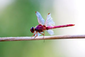The Fuchsia Dragonfly 02 by lifeinedit
