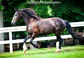 black friesian cross mare 2 by venomxbaby