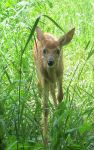 A Fawn in Tall Grass 4b by Windthin