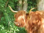 Highland cattle 16 by queenofeagles