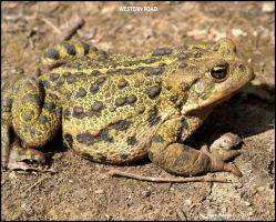 WESTERN TOAD by Kittihawk11