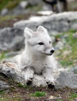 Arctic fox stock 6 by GrayeyesStock