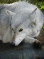 Wolf Portrait Stock 16 by Clickitysnip-Stock