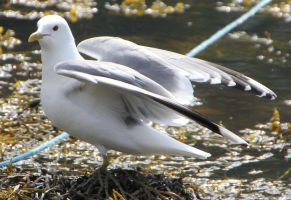 Seagull 3 by Chance-STOCK