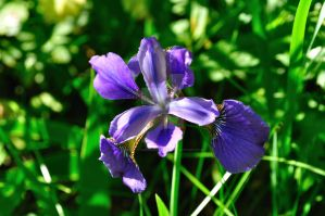 Purple Iris by beautythroughalens