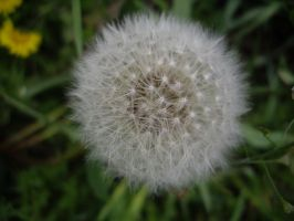 Dandelion closeup by captpackrat