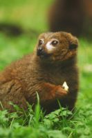 Red-Bellied Lemur by Shadow-and-Flame-86