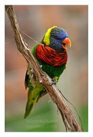 Lorikeet by Goodbye-kitty975