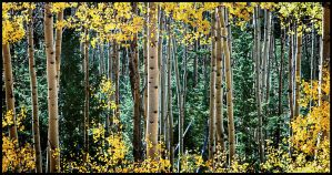 Aspen Forest by kimjew
