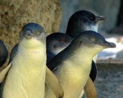 LITTLE PENGUINS 2 by AdamsWife