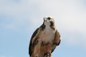 Redtail Hawk -young- by Sphinx47