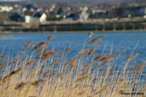 Reed bed by friedapi