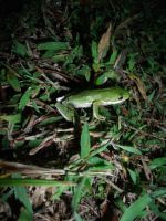 Tree Frog 4 by Imperius-Rex