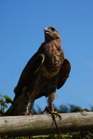 Magestic Buzzard.. by quaddie