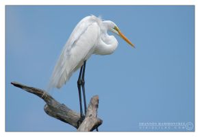 Breeding Great Egret by vividlilac