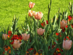 Tulips by weirdandproudofit
