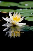 Water Lilly 4 by Art-Photo