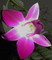 Orchid by Maverick900407