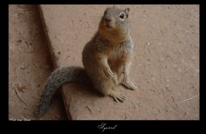 Squirrel by timvdam