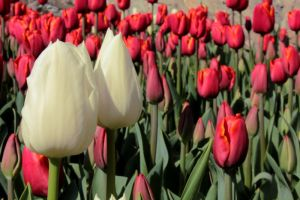Tulip Time by er-art
