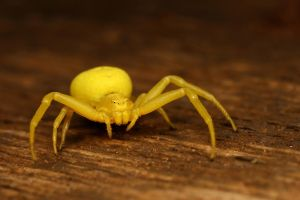 Yellow crab spider by macrojunkie