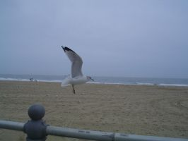 Seagull lifting off by vbcsgtscud