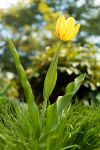 Tulips and Undulating Leaves by kablaha