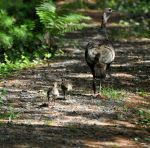 Mama Turkey and Chicks by BlueSolitaire
