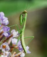 Baby Mantid.., by duggiehoo