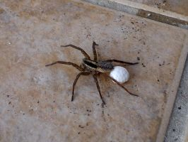 Grass funnel weaver spider by Poolbandit
