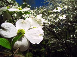 Dogwoods of Spring by Duskmourne