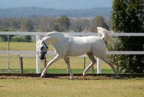 GE Arab white trot head arched side view by Chunga-Stock
