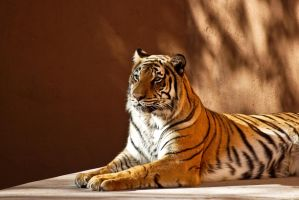 0895 Bengal Tiger by Yellowstoned