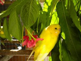 Sun-kissed budgie by fuzzypinkmonster