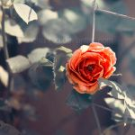 Sweet rose by EliseEnchanted