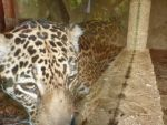 Zoo - Jaguar by snbsunshine1995