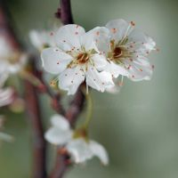 Plum Flowers by Egil21