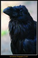 Raven by KSPhotographic